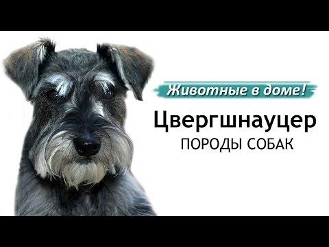 Цвергшнауцер - породы собак.