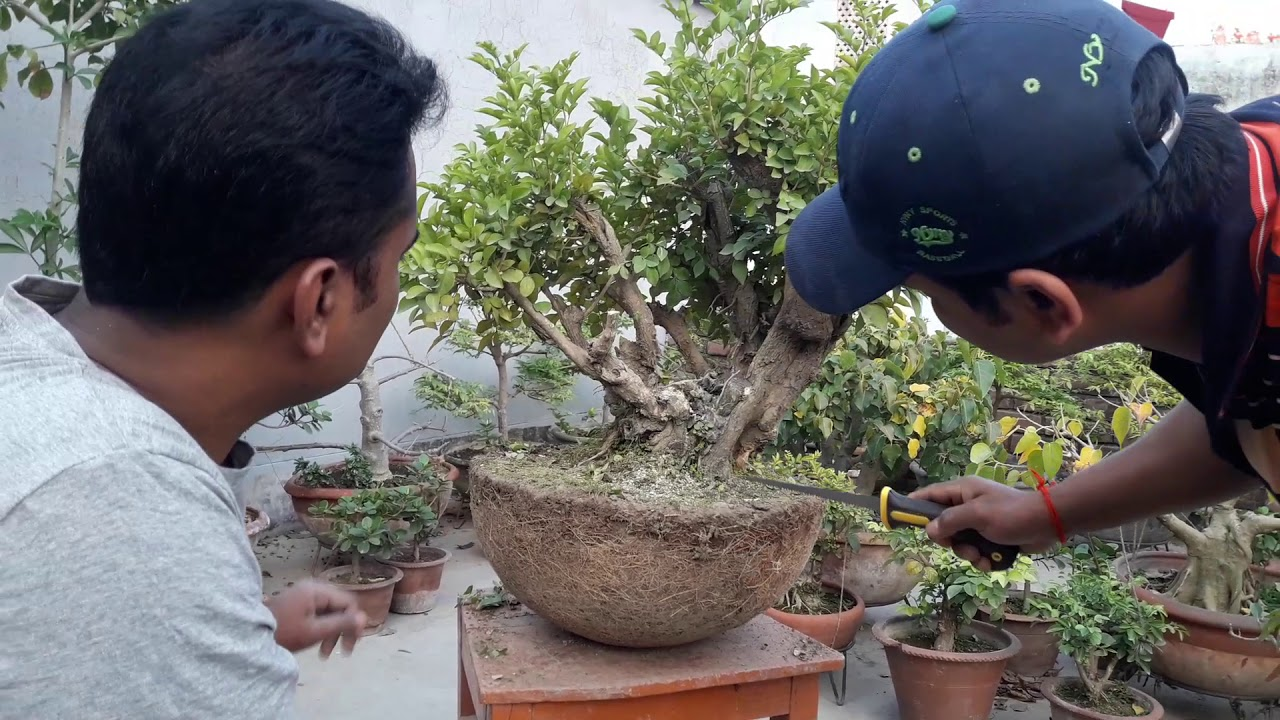 How To Make Bonsai From Nursery Plant Giving Bonsai Shape Bonsai Care Bonsai Tips Pruning Cutting Youtube