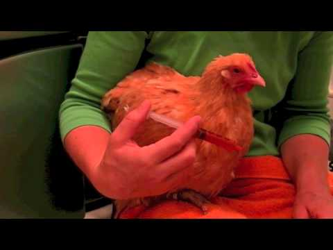 How To Give A Chicken Medicine