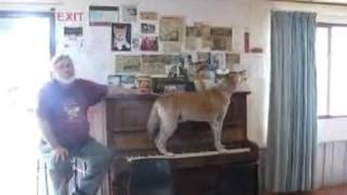 Собака играет на пианино и поет
