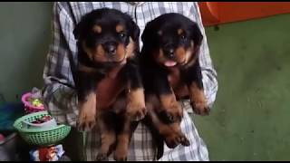 Rottweiler puppies available rewa mp