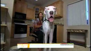 Titan the World's Tallest Dog on the Today Show.wmv