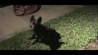 Okmulgee, Oklahoma; Black German Shepherd Puppy Maxxy The Crawdad Hunter.mpg