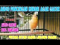 Suara Kenari Nembak Panjang Cocok Untuk Pancingan Masteran Kenari Muda  Mp3 - Mp4 Download