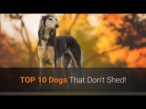🐕 List Of TOP 10 Dog Breeds That Don't Shed!