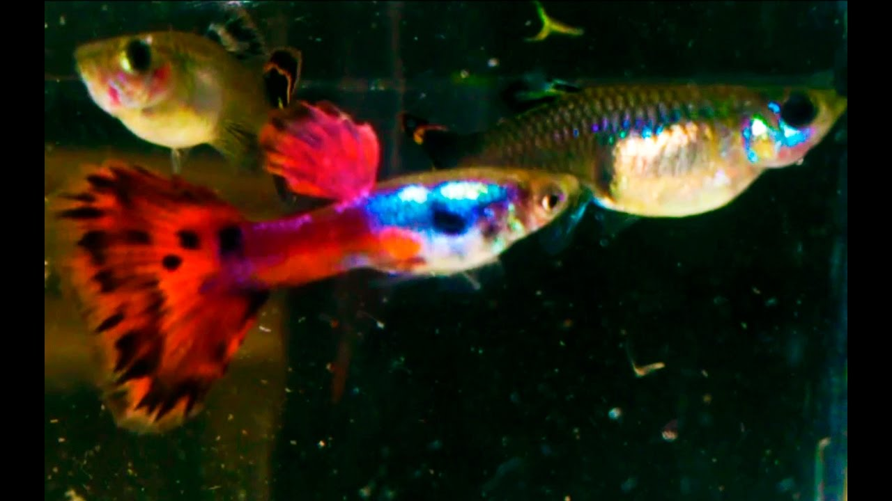 Newly collected fish from the ponds - Big Ear Guppy (F1 juveniles ...