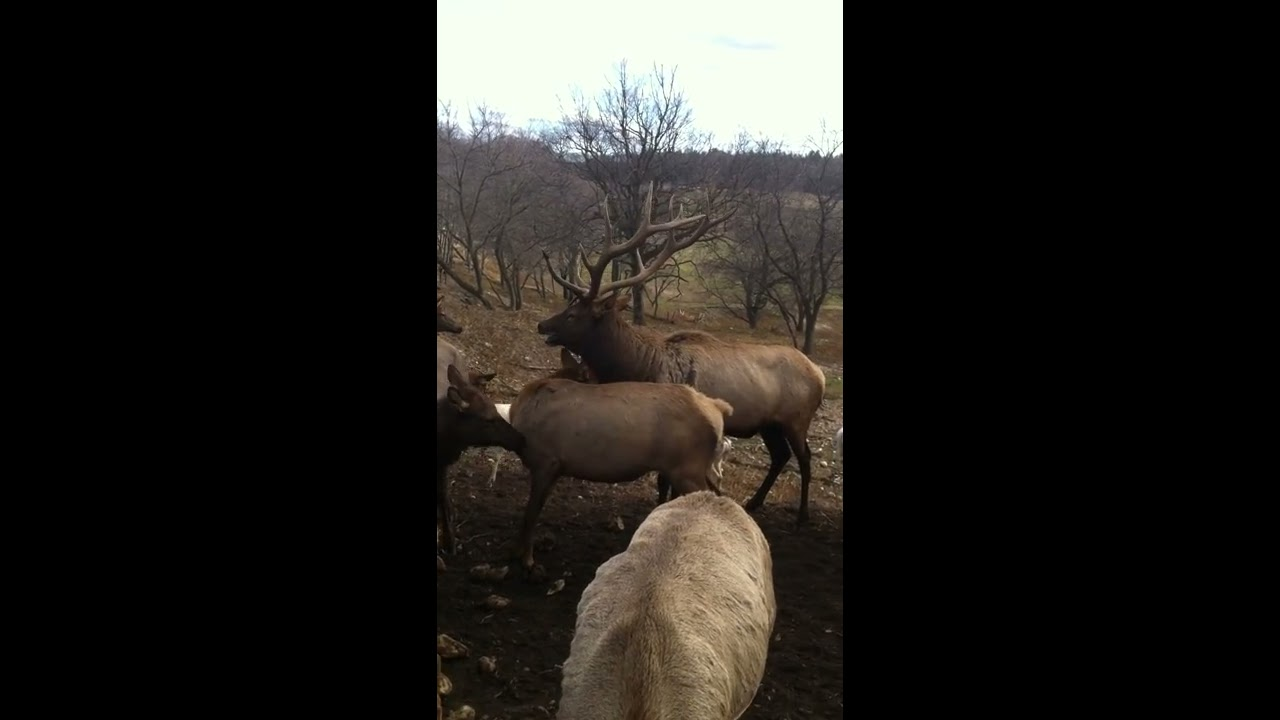 Michigan Gaylord Elk Mating And Bugle Up Close Youtube
