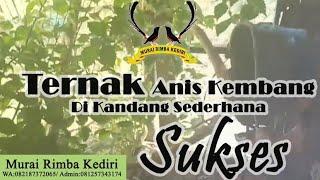 Ternak Anis Kembang di kandang sederhana sukses