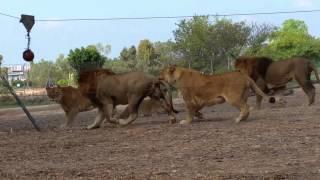 אריות בספארי משחקים בכדור באולינג. צילום: אלעד הרשקוביץ