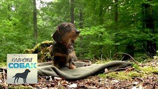 Такса. Планета собак 🌏 Моя Планета