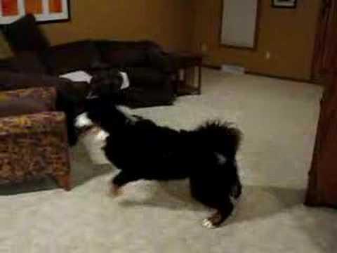 Bernese Puppy Rampage