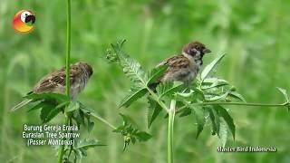 TAU NGGAK!?! dengan Burung Gereja Erasia