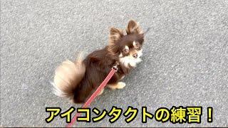 小太郎くんは散歩中のアイコンタクトの練習を行いました! アイコンタク...