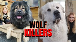 WOLF KILLERS - CAUCASIAN SHEPHERD Vs GREAT PYRENEES DOG