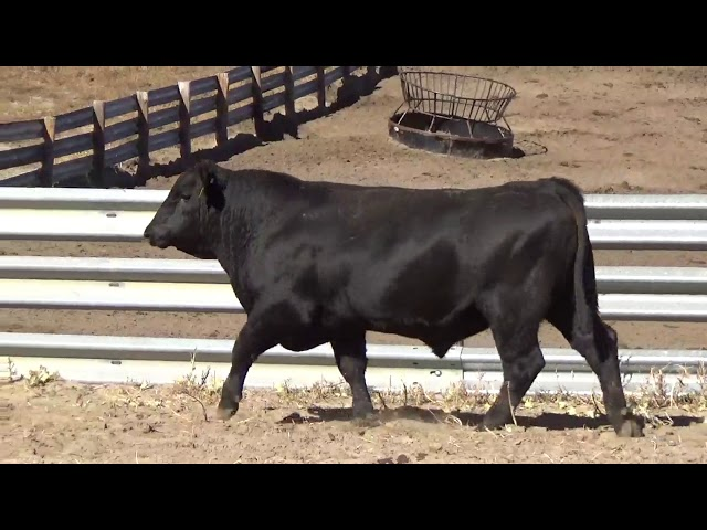 Connealy Angus Lot 175
