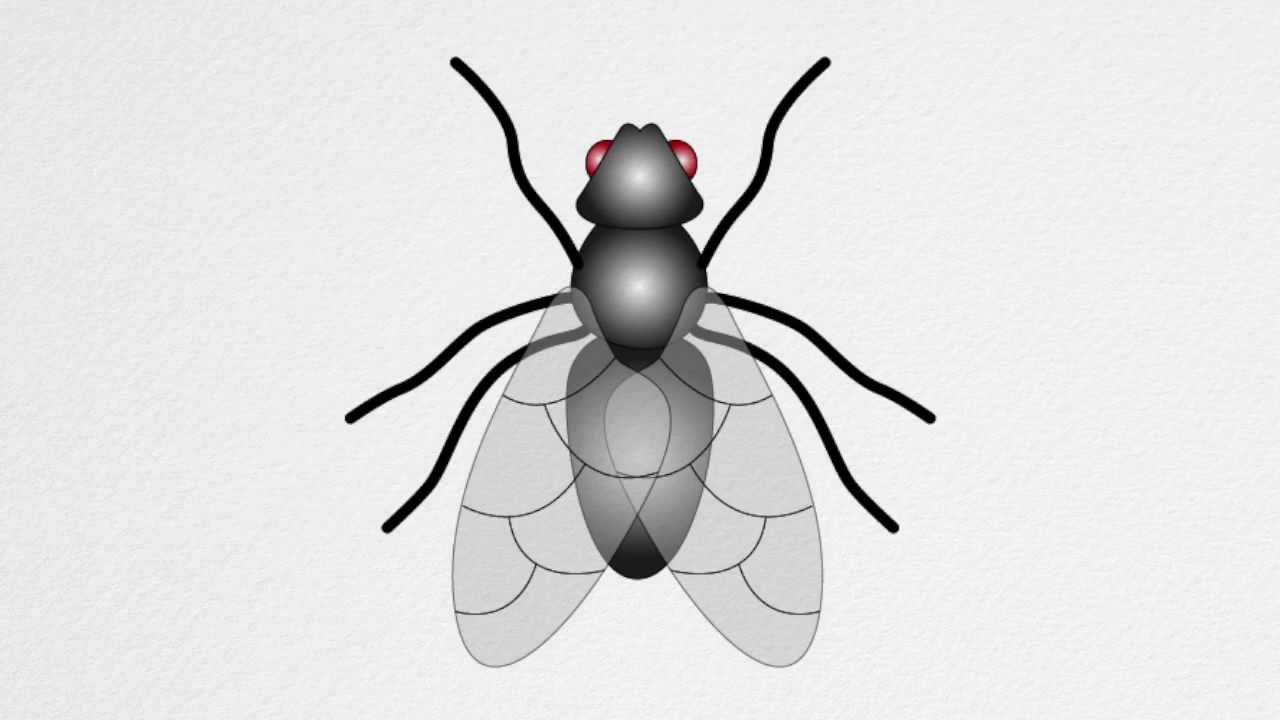 Uncategorized How To Draw Flies how to draw a fly step by youtube step