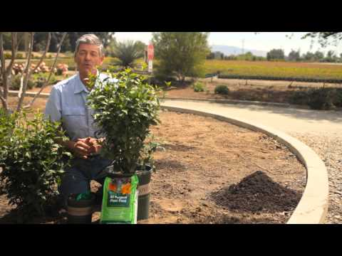 How to Care for Rose of Sharon Shrubs : Garden Savvy