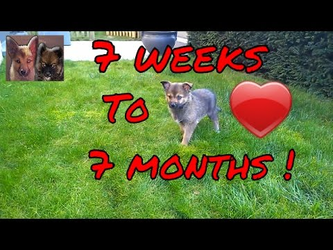 Pomsky Puppy From 7 Weeks To 7 Months - Boy The Cute Pomsky!
