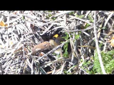 Hummel (Bombus)  - eine Hummel gräbt auf einem Waldweg -  08.Mai2018