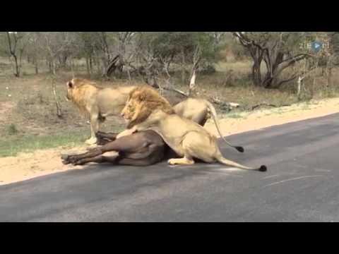 Leeuwen verscheuren buffels