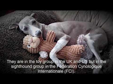 Italian Greyhound Tell About his life-- Part 1