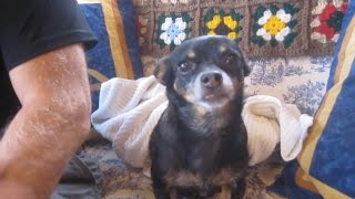 Doggy Dental Hygienist Diy Plaque Removal Our Chihuahuas Teeth