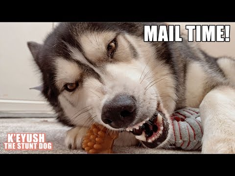 Husky Argues About Saying Thank You Again! Mail Time!