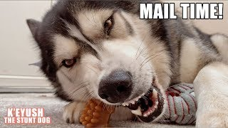 husky-argues-about-saying-thank-you-again-mail-time