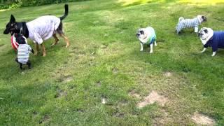 Pugs in P.J.