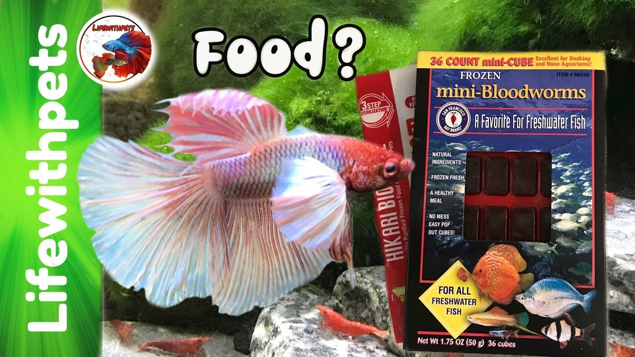 What to feed betta fish fry and juveniles youtube for What to feed betta fish