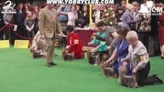 Westminster Yorkshire Terrier Show 2010 - Part 3
