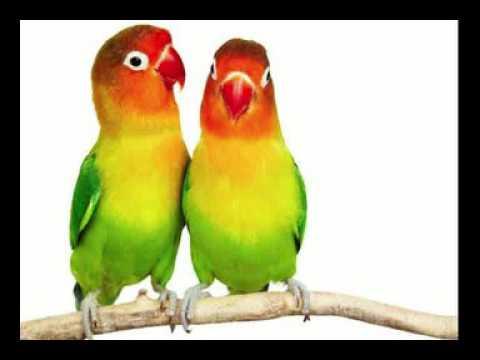 MASTERAN LOVEBIRD ISIAN