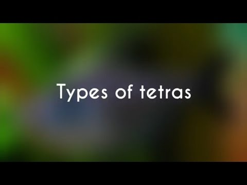Types Of Tetra Fishes