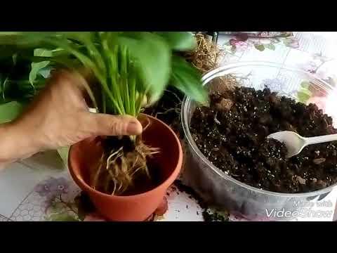Как рассадить спатифиллум
