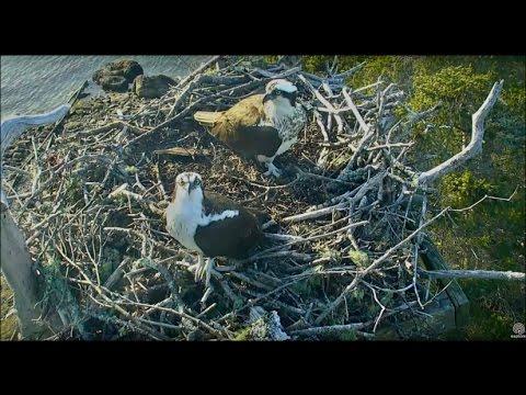 Audubon Hog Island Maine Osprey Cam ~ Rachel Returns! 2017 Season Begins 4.10.17