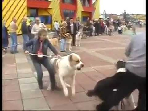 Central Asian Shepherd dog attack in show Ring
