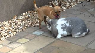 Rabbit mating with dog (Part 2)