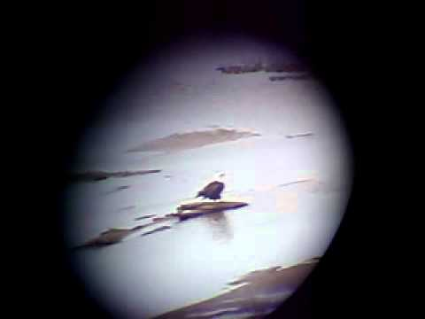 Bald Eagle on Arkansas River in Tulsa OK from University Club Tower