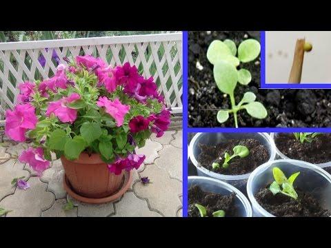 Как посадить петунию на рассаду