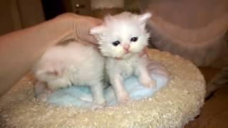 Шотландскиие белые  котята мальчики - хайлед страйт и фолд
