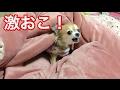 寝てるところ起こされて怒るチワワ。A chihuahua gets angry.