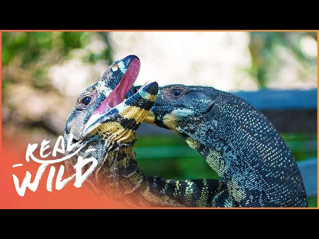 Love At First Fright? Reptile Lovers Meet For the First Time!| Zoo Days | Real Wild