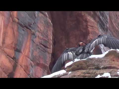 Condor at Zion National Park