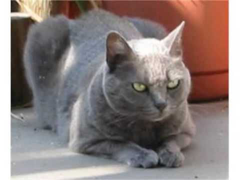 Russian Blue cat silver blue coat very intelligent and playful cat