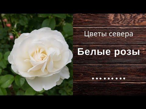 Белые розы в саду и на даче