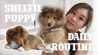Our Puppy's Daily Schedule  16 Week Old Sheltie Puppy!