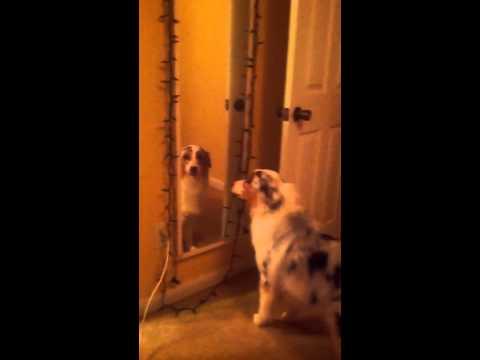 Australian Shepherd barking at herself in the mirror