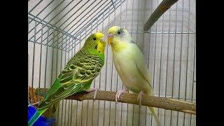 Тоша и Нюша веселое пение для попугайчиков