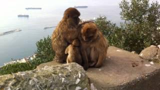 Apor på gibraltar