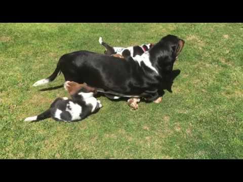 Basset Hound Puppies at 6 Weeks